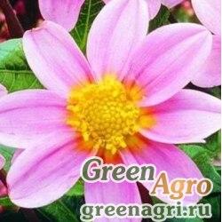 "Георгина летняя (Dahlia variabilis) ""Mignon"" (pink) 30 гр."