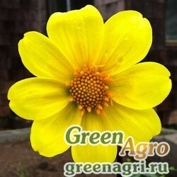 "Георгина летняя (Dahlia variabilis) ""Mignon"" (yellow) 30 гр."