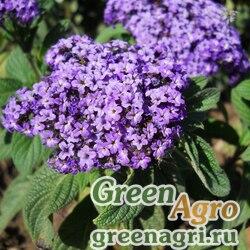 """Гелиотроп перуанский (Heliotropium arborescens) """"Marine"""" (blue) raw 4 гр."""