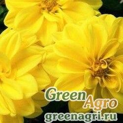 "Георгина летняя (Dahlia variabilis) ""Hello F1"" (yellow shades) Raw 1000 шт."