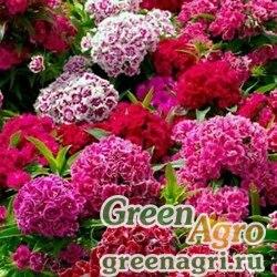 Гвоздика турецкая (Dianthus barbatus) (double mix) 100 гр.