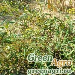 Володушка серповидная (Bupleurum falcatum) 3 гр.