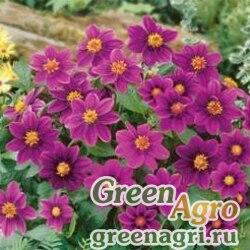 "Георгина летняя (Dahlia variabilis) ""Mignon"" (purple) 30 гр."