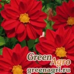 "Георгина летняя (Dahlia variabilis) ""Opera"" (red) 10 гр."
