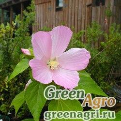 Гибискус мускусный (Hibiscus moscheutos var.mocheutos) 15 гр.