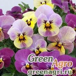 Герань мощная (Geranium robustum) 100 шт.