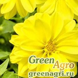 "Георгина летняя (Dahlia variabilis) ""Opera"" (yellow) 10 гр."
