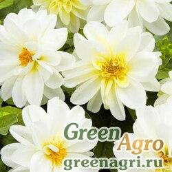 "Георгина летняя (Dahlia variabilis) ""Opera"" (white) 10 гр."