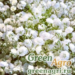 """Гипсофила изящная (Gypsophila elegans) """"Rosea"""" (pale rose) 100 гр."""