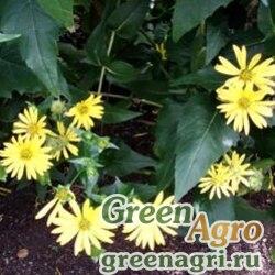 "Гайлардия остистая  (Gaillardia aristata) ""Single flowered"" (mixture) 50 гр."