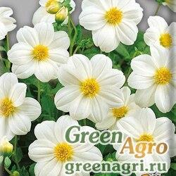 "Георгина летняя (Dahlia variabilis) ""Mignon"" (white) 30 гр."