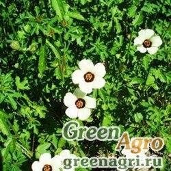 Гибискус тройчатый (Hibiscus trionum) (yellow) 30 гр.