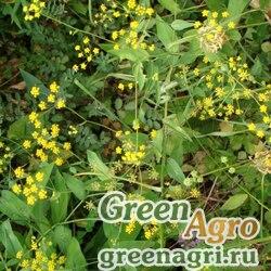 Володушка многолистная (Bupleurum polyphyllum) 4 гр.