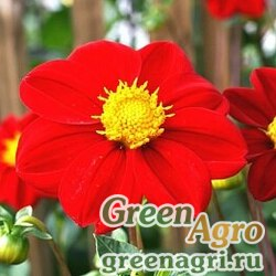 "Георгина летняя (Dahlia variabilis) ""Mignon"" (red) 30 гр."