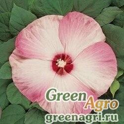 "Гибискус мускусный (Hibiscus moscheutos) ""Luna F1"" (pink swirl) raw 100 шт."