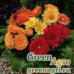 "Гербера Джеймсона (Gerbera jamesonii) ""Cartwheel F1"" (autumn colors) raw 500 шт."