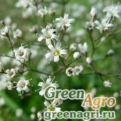 "Гипсофила метельчатая (Gypsophila paniculata) ""Snowflake"" (white) 25 гр."
