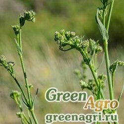Гипсофила высокая (Gypsophila altissima) 3 гр.