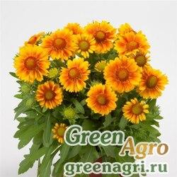 "Гайлардия остистая крупноцветковая (Gaillardia aristata grandiflora) ""MESA"" (PEACH) cleaned 500 шт."