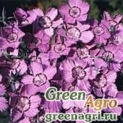Гвоздика амурская (Dianthus amurensis) 12 гр.