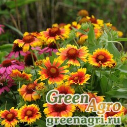 "Гайлардия остистая крупноцветковая (Gaillardia aristata grandiflora) ""MESA"" (BRIGHT BICOLOUR) cleaned 500 шт."