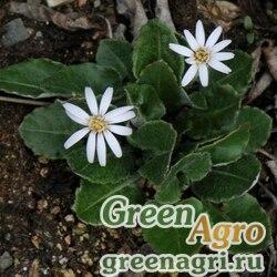 Гербера непальская (Gerbera kunzeana) 0,5 гр.