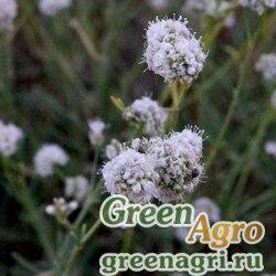 Гипсофила головчатая (Gypsophila capitata) 3 гр.