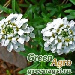 Иберис зонтичный Белый  (упак-50 гр.)