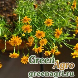 "Тимофилла тонколопастная (Thymophylla tenuiloba) ""Sunshine"" (bright yellow-orange) 1000 шт."