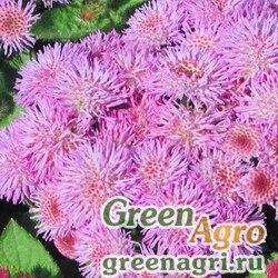 Агератум Розовый шар  (упак-50 гр.)