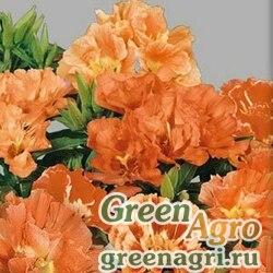 Годеция крупноцветковая Оранж Глори  (упак-50 гр.)