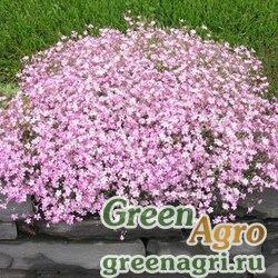 Гипсофила изящная Розовая  (упак-50 гр.)