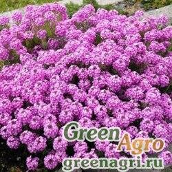 Иберис зонтичный Розовый  (упак-50 гр.)