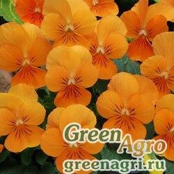 Фиалка рогатая Совершенство оранжевая  (упак-50 гр.)