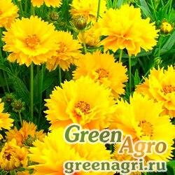 Кореопсис крупноцветковый Затея  (упак-50 гр.)