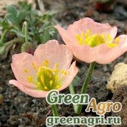 Мак бело-розовый (Papaver alboroseum) 1 г