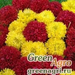 Гайлардия Смесь окрасок  (упак-50 гр.)
