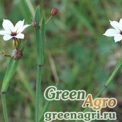 Голубоглазка ирисолистная (Sisyrinchium iridifolium) 2 гр.