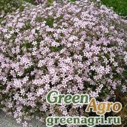 Гипсофила ползучая (Gypsophila repens) (white) 10 гр.