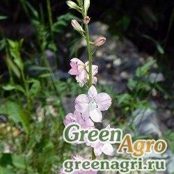 Дельфиниум аяксовый гиацинтоцветковый высокий (Delphinium ajacis) (mix) 50 гр.