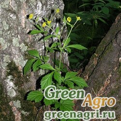 Гравилат аллепский (Geum allepicum) 40 г