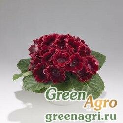 """Глоксиния гибридная (Sinningia hybrida) """"Empress F1"""" (red) pelleted 1000 шт."""