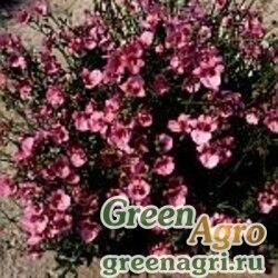 "Диасция бородчатая (Diascia barberae) ""Pink Queen"" (pink) 4 гр."