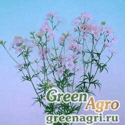 "Дельфиниум китайский (Delphinium chinense) ""Energy F1"" (pink) Raw 1000 шт."