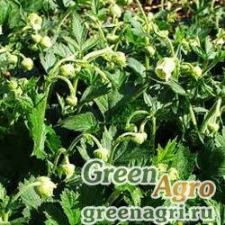 Гравилат магелланский (Geum magellanicum) 1 гр.
