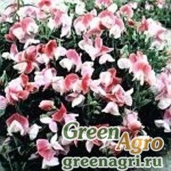 """Горошек душистый (Lathyrus odoratus) """"Cupid"""" (pink) 60 гр."""