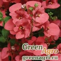 "Диасция бородчатая (Diascia barberae) ""Diamonte"" (coral rose) raw 1000 шт."