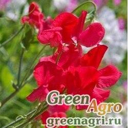 """Горошек душистый (Lathyrus odoratus) """"Royal Family"""" (scarlet) 100 гр."""