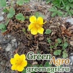Гравилат горный (Geum montanum) 2 гр.