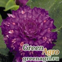 "Гомфрена шаровидная (Gomphrena globosa) ""Buddy"" (purple) raw 1000 шт."